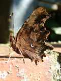 Comma Butterfly resting Stock Images