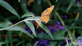 Comma butterfly with rolling tongue at pink Buddleja flower stock footage