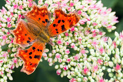 Comma butterfly on Sedum flowers in summer Royalty Free Stock Images