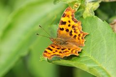 Comma butterfly sitting on a green leaf Royalty Free Stock Image