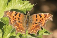 A comma butterfly in early spring royalty free stock photo