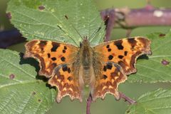 A comma butterfly stock images