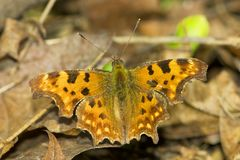 Comma / Poligonia C-album Stock Image