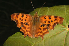 Comma (Polygonia c-album) Royalty Free Stock Images