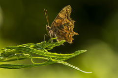 Comma (Polygonia c-album) Royalty Free Stock Image