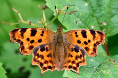 Comma (Polygonia c-album) from above Stock Photography