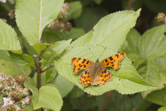 Comma (Polygonia c-album) Butterfly Royalty Free Stock Image