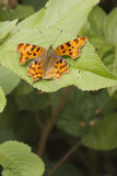Comma (Polygonia c-album) Butterfly Royalty Free Stock Photo