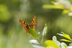 Comma (Polygonia c-album) Butterfly Stock Images