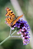 Comma (Polygonia c-album) Royalty Free Stock Photography