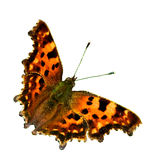 The Comma (Polygonia c-album) isolated, Sweden. The Comma with its special shaped wings and a white C on the underside, isolated Uppland, Sweden royalty free stock photography