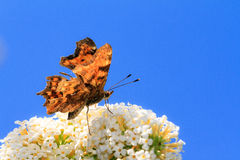 The Comma (Polygonia c-album) Stock Images