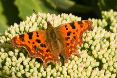 Comma on sedum flower buds in the sun Stock Photos