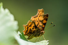 The Comma (Polygonia c-album) resting on leaf Stock Photos