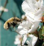 Commandant de bombylius de mouche sur une fleur images stock