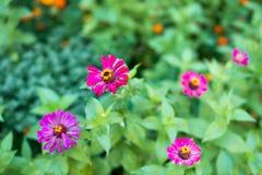 Commandant de fleur Elegans de Zinnia Fleur pâle - rose Plan rapproché Sur le fond brouillé Champ Floriculture Grand parterre Photos libres de droits