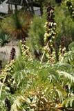 Commandant de Melianthus, fleur géante de miel Image stock