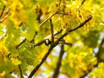 Commandant de Parus - grande mésange sur une branche de chêne dans le printemps Photos stock