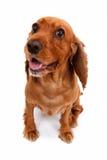 Commande d'attente anglaise de chien de cocker Photographie stock