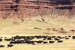 Commande de bétail images stock