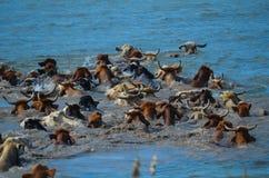 Commande de bétail par le fleuve Colorado Images libres de droits