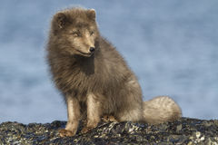 Commander arctic fox sitting on the beach Royalty Free Stock Images