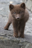 Commander blue fox pup who stands on a cliff sunny summer Royalty Free Stock Image