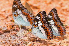Commander butterflies Royalty Free Stock Image