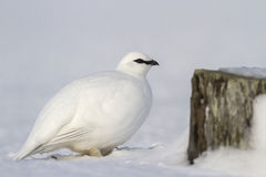 Commander male ptarmigan near the stone Royalty Free Stock Photography