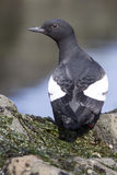 Commander pigeon guillemot that is sitting on a rock with his Royalty Free Stock Photo
