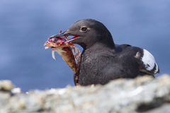 Commander pigeon guillemot sitting on a rock by the ocean  Royalty Free Stock Images