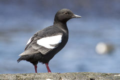 Commander pigeon guillemot that stands on a rock on a sunny Royalty Free Stock Photo