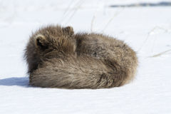 Commander's blue arctic fox that sleeps Stock Photo