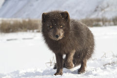 Commander's blue arctic fox that stands in the snow with a raise Stock Photos
