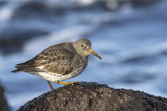 Commander's Rock sandpiper which stands on a rock and looking si Stock Images