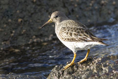 Commander's Rock sandpiper which stands on a rock at low tide on Royalty Free Stock Photography