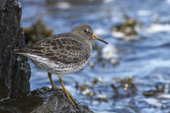 Commander's Rock sandpiper which stands on a rock at low tide Royalty Free Stock Photo