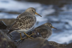 Commander's Rock sandpiper which stands on a rock at low tide wi Royalty Free Stock Images