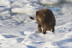 Commanders blue arctic fox that goes along the seashore Royalty Free Stock Photos