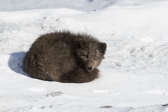 Commanders blue arctic fox lying in the snow curled up winter da Stock Photography