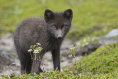 Commanders blue arctic fox pup standing in the green tund Stock Photos