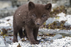 Commanders blue arctic fox puppy that looks directly into the le Stock Photo