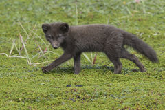 Commanders blue arctic fox puppy running on green tundra Royalty Free Stock Photography