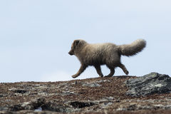 Commanders blue arctic fox running on the tundra, spring sunny d Royalty Free Stock Images