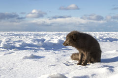 Commanders blue arctic fox sitting on the shore of a frozen sea Stock Photo