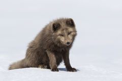 Commanders blue arctic fox sitting in the snow with his head dow Royalty Free Stock Photos