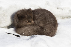 Commanders blue arctic fox sleeping on the ice on the Royalty Free Stock Photos