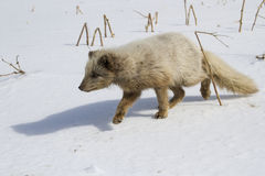 Commanders blue arctic fox sneaking across the snow to the fishe Royalty Free Stock Photo