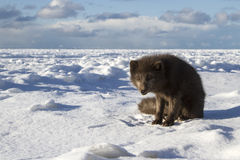Commanders blue arctic fox standing on the ice on the Stock Image