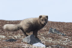 Commanders blue arctic fox that stands on a rock in the autumn t Royalty Free Stock Image